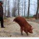 Ilma tagajalgadeta sündinud siga õppis kõndima
