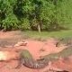 Kannibalist krokodill ei taha mingit kala, sööb hoopis sõbra jala ära