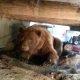 Pipragaasiga varustatud mees üritab terrassi alt suure karu ära ajada