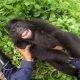 Midagi positiivset – vaata, kuidas väikest gorillat kõditatakse