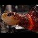 Vaata kuidas grupp klaasipuhujaid valmistavad selle ägeda klaasist kilpkonna