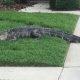 Vihane alligaator lööb loomapüüdja nokauti