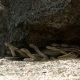 Kõige pingelisem asi, mida sa täna näed – Iguana põgeneb madude eest