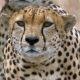 Kolm gepardit vs. jaanalind