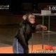 Šimpans läbib veatult ninjasõdalase raja
